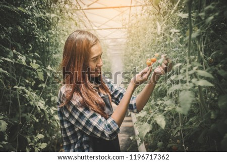 Women are picking tomatoes in the greenhouse, garden of planting non-toxic vegetables