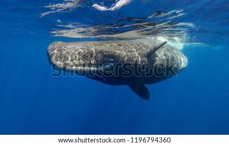 Sperm whale, Indian Ocean, Mauritius. #1196794360