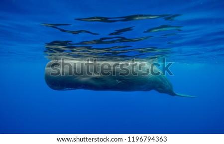 Sperm whale, Indian Ocean, Mauritius. #1196794363