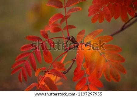 autumn leaves red Rowan autumn warm texture berry leaves  #1197297955