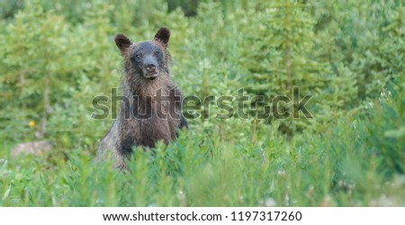 Grizzly bear in the wild #1197317260
