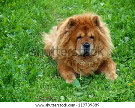 Brown chow chow dog Dina in the grass. #119739889