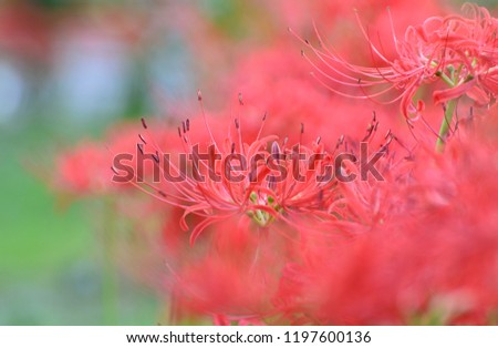 Flowers of Red spider lily (Lycoris radiata) in japanese autumn #1197600136