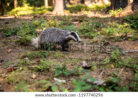 Badger in forest, animal in nature habitat, Germany, Europe. Wild Badger, Meles meles, animal in the wood. Mammal in environment, rainy day. #1197740296