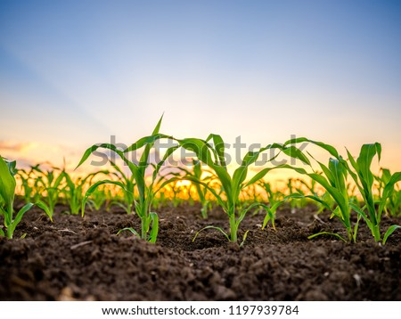 Green corn maize plants on a field. Agricultural landscape Royalty-Free Stock Photo #1197939784