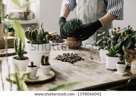 Woman gardeners hand transplanting cacti and succulents in cement pots on the wooden table. Concept of home garden. #1198066042
