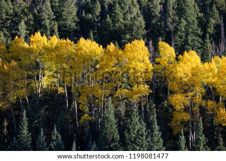 Aspen tree grove with autumn foliage in yellow, orange, and gold contrasted with the dark green foliage of a forest of pine, spruce, and fir trees #1198081477