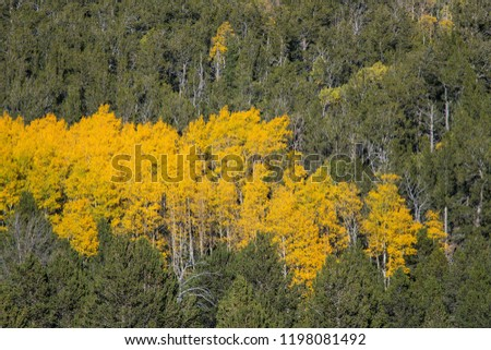 Autumn scene of an aspen grove in yellow and gold colors on a steep hillside with green pine trees #1198081492