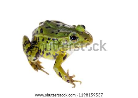 Green Pool Frog on white, Pelophylax lessonae #1198159537