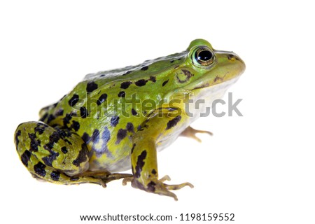 Green Pool Frog on white, Pelophylax lessonae #1198159552