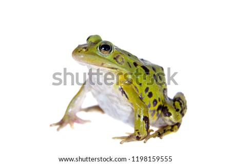 Green Pool Frog on white, Pelophylax lessonae #1198159555