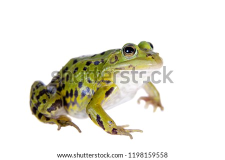 Green Pool Frog on white, Pelophylax lessonae #1198159558