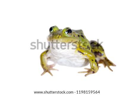 Green Pool Frog on white, Pelophylax lessonae #1198159564