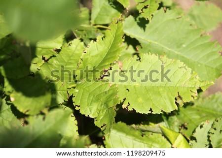 Weevil feeding damage on green leaves of ash #1198209475
