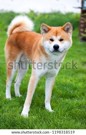 Adorable Japanese Akita Inu on green grass, outdoors #1198318519