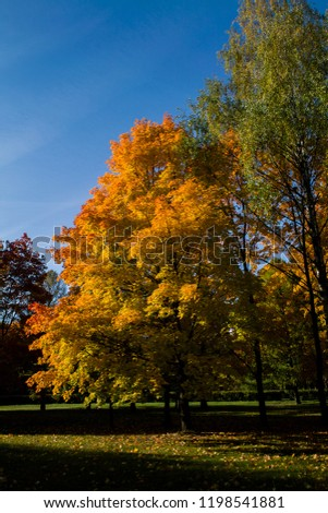 Autumn tree (maple)  in forest park #1198541881