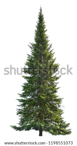 single fir isolated on white background Royalty-Free Stock Photo #1198551073