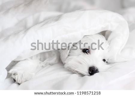 Sleeping white puppy under white blanket, sleeping Schnauzer #1198571218