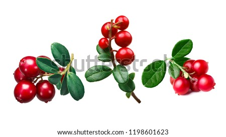 Lingonberry (fruits of Vaccinium vitis-idaea) clusters with leaves #1198601623