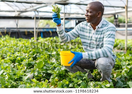 Successful African-American farmer working in greenhouse, engaged in cultivation of organic Malabar spinach #1198618234