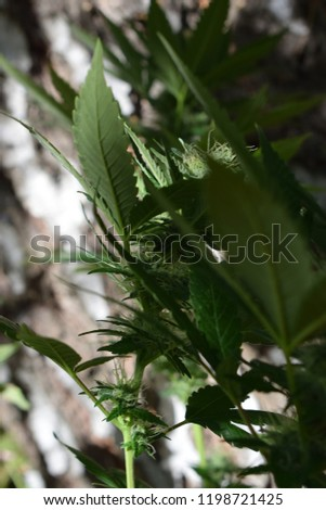 Cannabis plant in the nature #1198721425