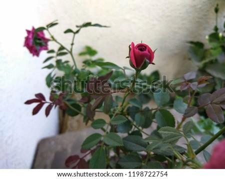 red china rose #1198722754