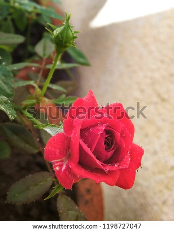 dew on red rose #1198727047