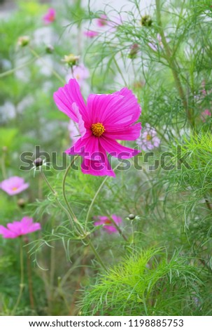 Bright pink cosmos flower on a bed among the greenery in the park. #1198885753