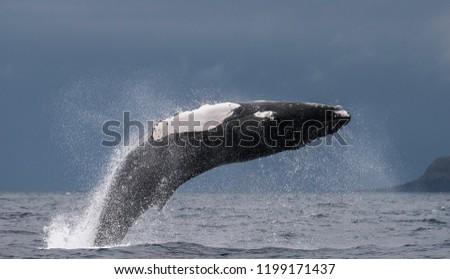 Humpback whale breaching off the coast of Pico Island, Azores. #1199171437