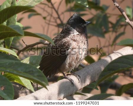 bulbuli bird of bangladesh #1199247031