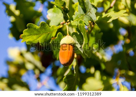 Selective focus: ripe acorns from a German Oak tree on a sunny day. Acorns are an ingredient to prepare acorn bread or cake and acorn coffee from it. Delicious and oldfashioned traditional cuisine. #1199312389