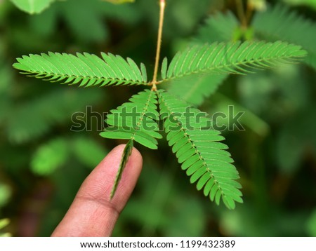 """Folding response or """"sleep"""" or nyctinastic movement. Upon touching the compound leaf of a Touch-me-not (Mimosa pudica) plant with a finger, the leaflets start to fold up. Top down composition.  #1199432389"""