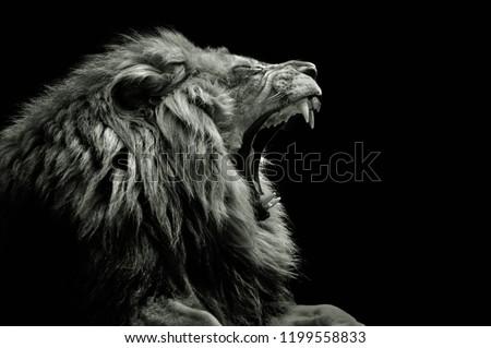 Lion roaring zoo #1199558833
