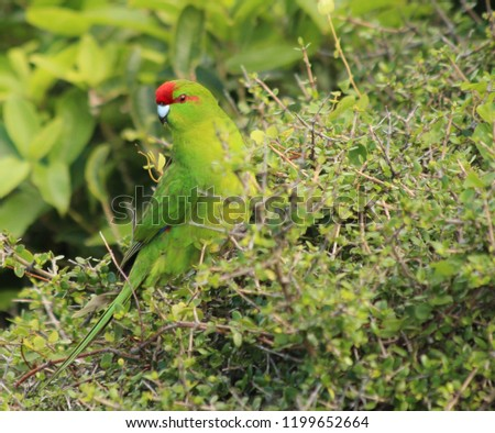 Red crowned Parakeet #1199652664