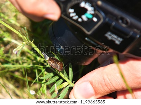 A man take a picture of rown marmorated stink bug on a green leaf with its eggs