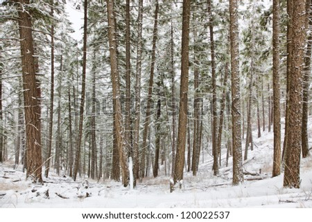soft looking winter scene with large trees covered with snow early november #120022537
