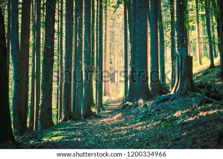 A pathway trough a forest between the grown spruces. Yellow green color tones. Czech Republic, Beskydy mountains. #1200334966