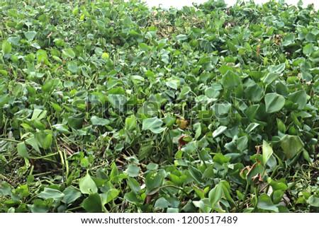water hyacinth background #1200517489