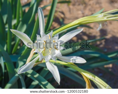 Close up of an white Pancratium maritimum flower also known as sea daffodil or sand lily, from the Amaryllidaceae family .On the sandy dunes of the Mediterranean coasts, selective focus #1200532180