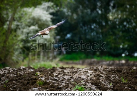 Wild Red Kite flying/hovering over a maize field, which is being ploughed, in search of food, worms, in natural habitat in Yorkshire, UK. #1200550624
