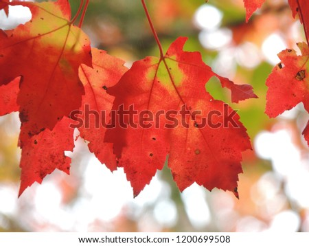 Autumn background, close-up of red maple leaves #1200699508