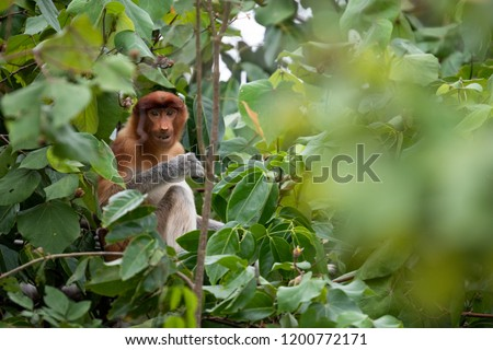 Proboscis monkey (Nasalis larvatus) or long-nosed monkey relaxing sitting in tree in Bako National Park in Borneo. #1200772171