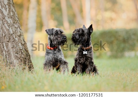 Two dogs outdoors, together. Two Miniature Schnauzer dogs sitting together. Autumn park #1201177531