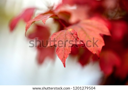 Red maple leaves on sky background in autumn forest #1201279504