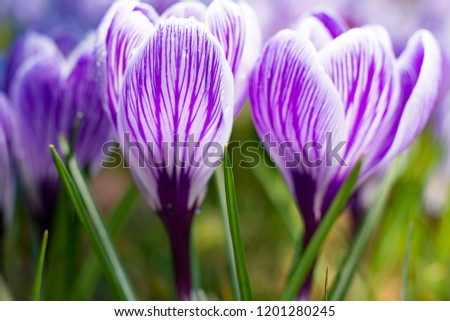 First spring flowers, groups of violet or lilac crocuses, spring blossom #1201280245