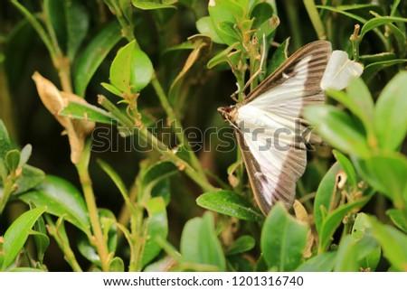 The box tree moth #1201316740