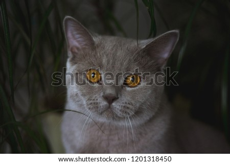 A beautiful young British cat with yellow eyes sits near the potted flowers in long leaves. portrait of a gorgeous cat  #1201318450