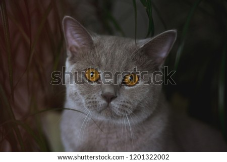 A beautiful young British Shorthair cat with yellow eyes is sitting at home, with potted flowers in long leaves and preparing for a hunt. portrait of a gorgeous cat close #1201322002