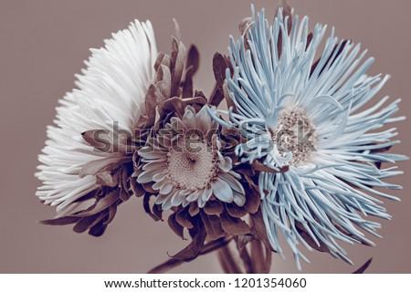 Aster flowers, bouquet, sepia effect. #1201354060