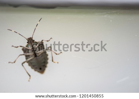 A stink bug exposes its underside when walking on an antique glass window pane.